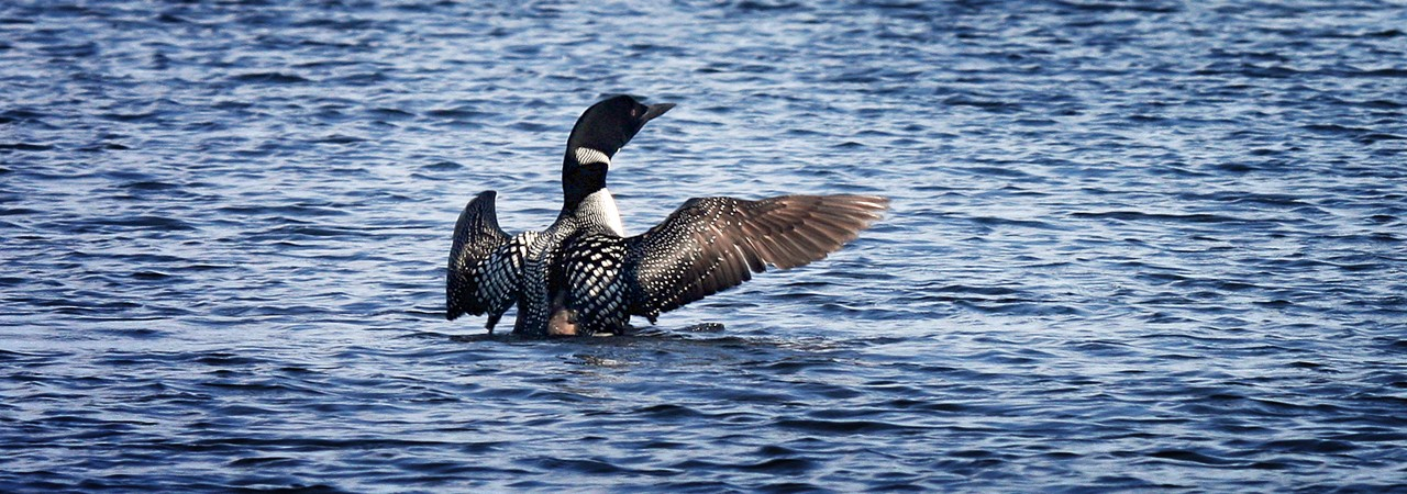 Loon on Great Averill Lake, Vermont