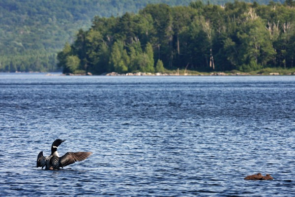 Loons at Quimby's in Vermont